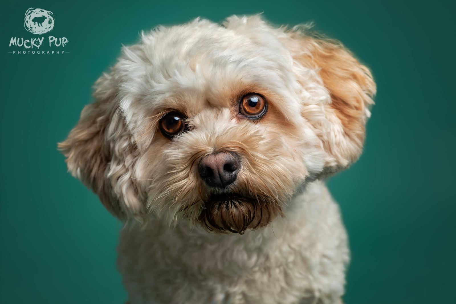 Cavachon studio photography dog Swansea