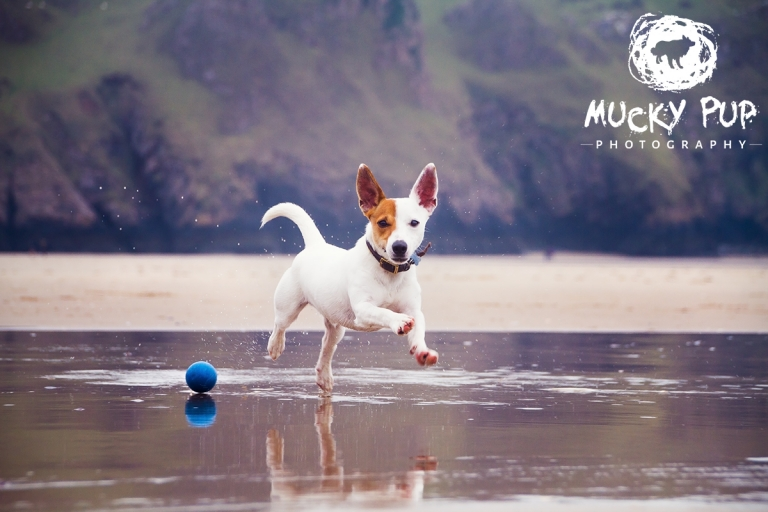 jack russell running on beach